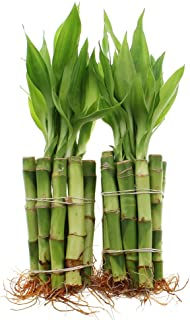 Live Lucky Bamboo 4-Inch Bundle of 20 Stalks - Live Indoor Plants for Home Decor, Arts & Crafts, and Feng Shui