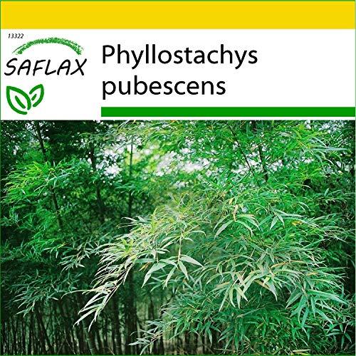 SAFLAX - Kit de culture - Bambou Moso - 20 graines - Phyllostachys pubescens