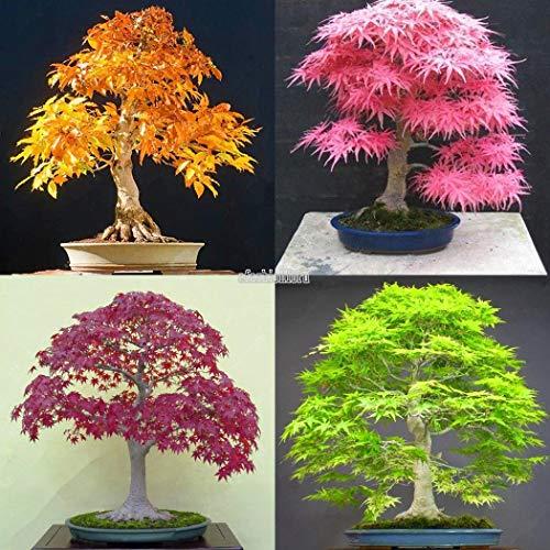 Go Garden Rose Red: 20X árbol de arce japonés Bonsai Semillas Acer palmatum Jardín Balcón Semilla de plantas T