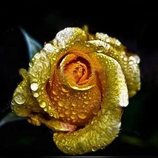 Best golden rose flower Reviews