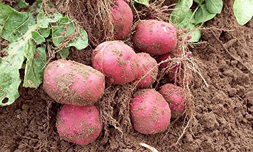 Simply Seed - 5 LB - Red Pontiac Potato Seed - Non GMO - Naturally Grown - Order Now for Spring Planting