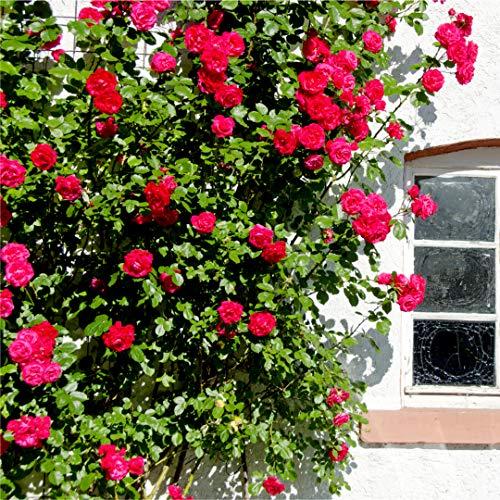 'Etoile de Hollande' Climbing Rose Bush, Stunning Deep Crimson Red & Fragrant 3fatpigs