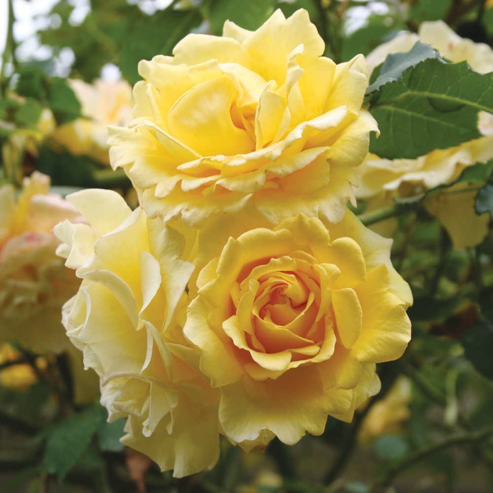 Own-Root One Gallon Gold Great interest Badge Roses Rose by Climbing Deluxe Heirloom