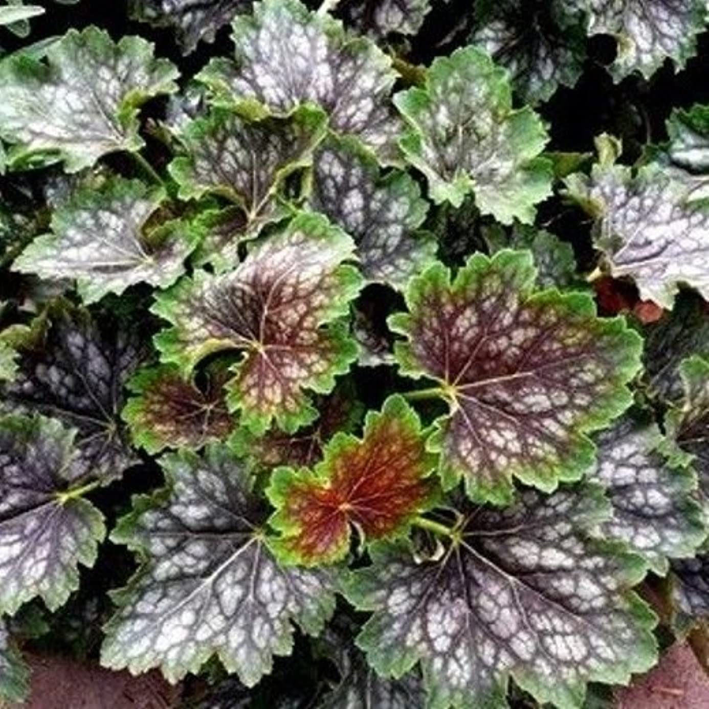 Heuchera Marvelous Marble Coral Bells red Green 2.5