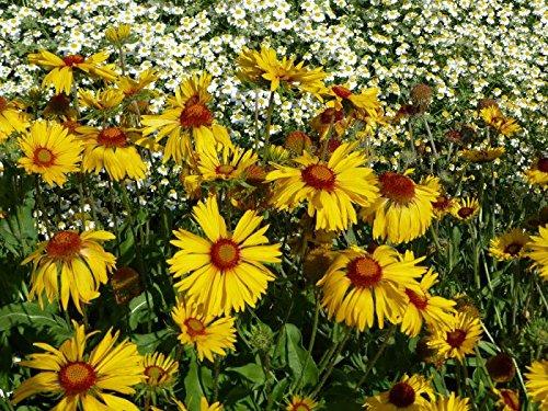 Wilde Kokardenblume Gaillardia aristata (Wildform) 50 Samen
