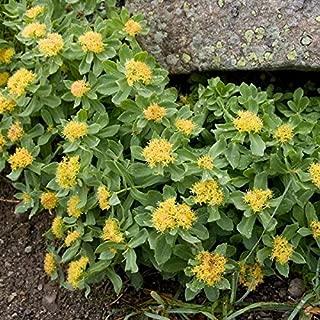 Roseroot Seeds (Rhodiola rosea) 10+ Rare Medicinal Herb Seeds