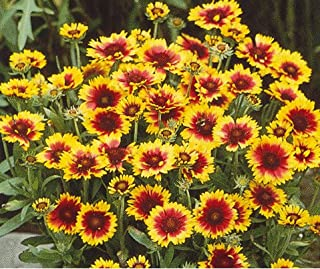 Derlam Samenhaus-100 Pcs Kokardenblume Goblin Blumensamen mehrjährig winterhart Korkadenblumensamen Blumen Saatgut für Balkon Garten