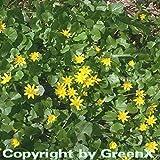 Scharbockskraut - Ranunculus ficaria