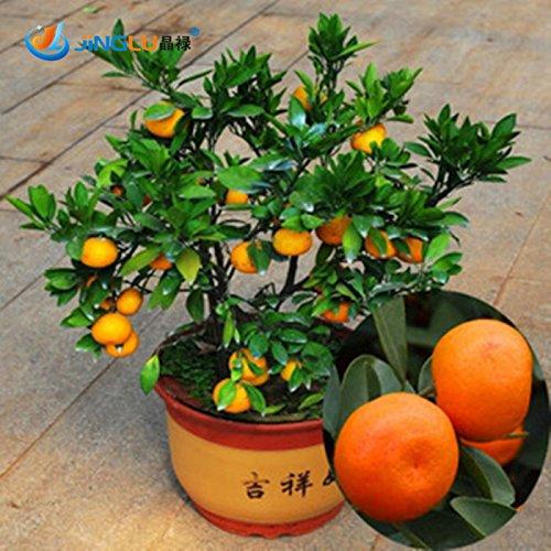 Pinkdose100 Teile/beutel, Balkon Terrasse Topf Obst Bäume Gepflanzten Samen, Kumquat Samen, Orange Samen, Tangerine, Citrus