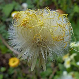 Coltsfoot Seeds (Tussilago farfara) 10+ Medicinal Herb Wildflower Seeds + FREE Bonus 6 Variety Seed Pack - a $29.95 Value! Packed in FROZEN SEED CAPSULES for Growing Seeds Now or Saving Seeds