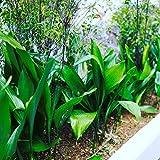 ハラン ポット苗 常緑低木 耐寒性 日陰