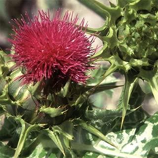 Plant World Seeds - Silybum Marianum Seeds