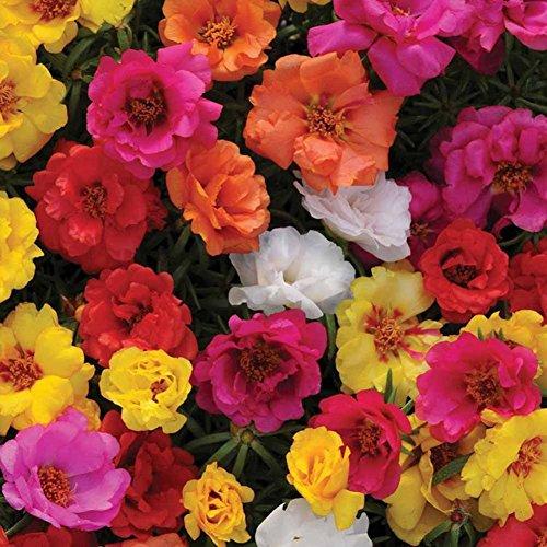 XdiseD9Xsmao 100 Stks vers Mos Rose Zaden Bloem Zaden Plant Zaden Dubbele Mix Portulaca Grandiflora Tuinieren Binnenplaats Balkon Decoratie