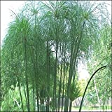 Tropica - Wasserpflanzen - Ägyptische Papyrusstaude (Cyperus papyrus) - 15 Samen