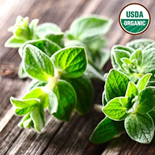 Origanum syriacum 20+ Rare Heirloom Herb Seeds in FROZEN SEED CAPSULES for the Gardener /& Rare Seeds Collector Wild Zaatar Oregano Seeds Plant Seeds Now or Save Seeds for Years