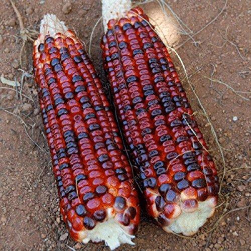 20pcs noir, rouge, arc-en-maïs Semences potagères furit Graines de haute qualité facile de culture biologique de légumes pour le jardin à la maison verte