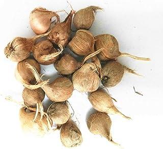 ASTONISH SEEDS: Los verdaderos bulbos de azafrán, irán azafrán, (semillas no azafrán), bulbos de flores, feliz Alegría Flo...