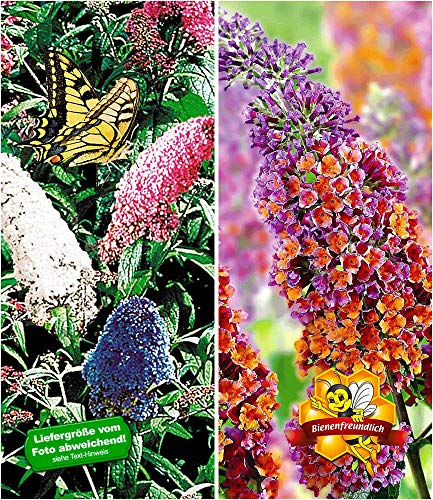 BALDUR Garten Sommerflieder-Sortiment, 2 Pflanzen, Buddleia 'Papillion Tricolor' und 'Flower-Power® Schmetterlingsflieder Schmetterlingsstrauch Zierstrauch Buddleja