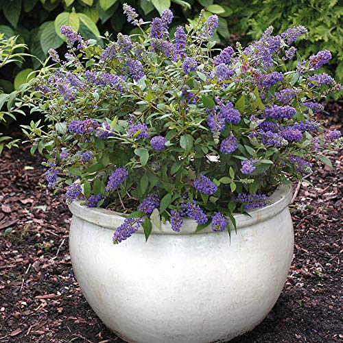 Hardy Buddleia Garden Plant, Dwarf Butterfly Bush Plants Shrub Ideal for Patios & Small Gardens, Blue Flowers Attract Butterflies & Bees, 1 x Buddleja Blue Chip in 3 Litre Pot by Thompson & Morgan