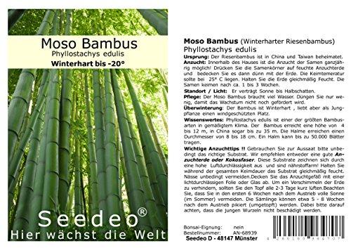 Seedeo® Moso Bambus (Riesenbambus) Phyllostachys edulis 100 Samen