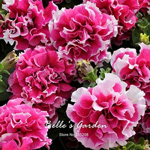 Rose Petunia Graines 50pcs Double Rose Petunia Pirouette Graines de fleurs Rare Belle Balcon Patio Jardin Plante