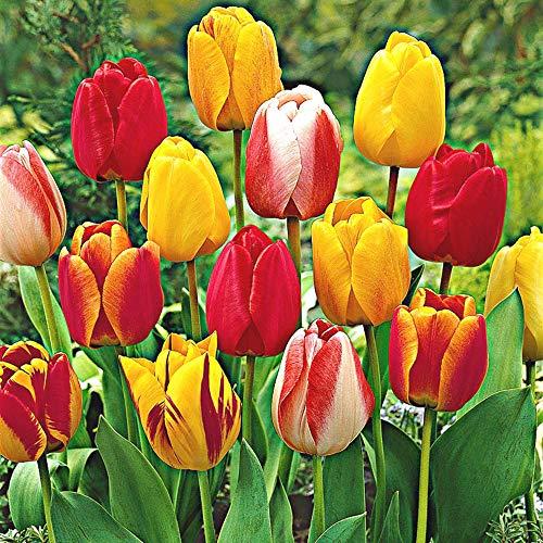Tulipa | Darwin Hybriden | 25er Mix Tulpen | Blumenzwiebeln Ø 10-11cm