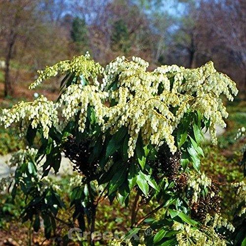 Zwerg Schattenglöckchen 50-60cm - Pieris japonica