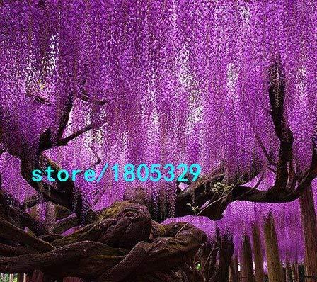 Bloom Green Co. Vente chaude Rare Violet Wisteria Graines de fleurs pour la maison et bricolage amp; plante de jardin Wisteria sinensis (SIMS) semences Sweet 10PCS: 1