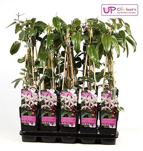 Blumen-Senf Clematis armandii Apple Blossom/30 cm/Topf Ø 9 cm/wunderschöne Clematis Waldrebe Kletterpflanze