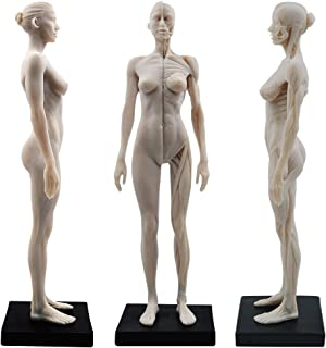 11inch Resin Female Human Body Musculoskeletal Anatomical Model CG Painting Sculpture 1:6 White