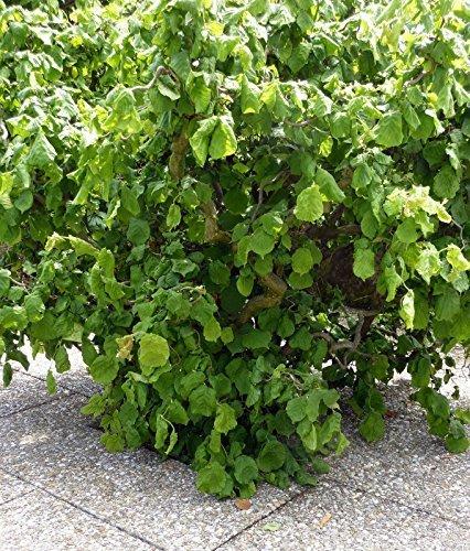 Korkenzieher - Haselnuss- Corylus avellana 'Contorta' Haselnuß Strauch 3 L Topf gewachsen
