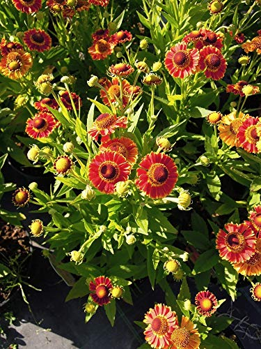 Späth Staude im Topf Herbst-Sonnenbraut 'Fuego' rot-gelb blühend, Blütenstauden mehrjährig 1 Pflanze