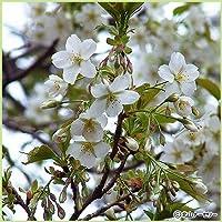 桜(サクラ)苗木 大島桜