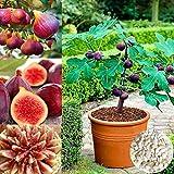 C-LARSS 50 Unids/Bolsa Semillas De Higo Tropical, Semillas De Frutas Comestibles De Hoja Caduca De Buena Cosecha Resistente A Plagas Para El Hogar Semillas de higo