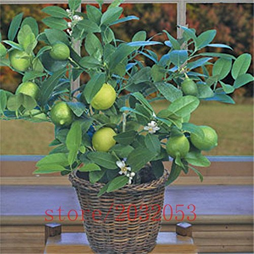 (100pcs Seeds) 100pcs/bag Kaffir Lime Seeds, Lime Seeds, (Citrus aurantifolia) ,Organic Fruit Seeds, Bonsai Fruit Lemon Tree for Home Garden