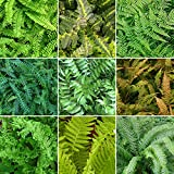 5 X Fern Plant Mix Collection - Potted Perennial Outdoor Garden Shrubs