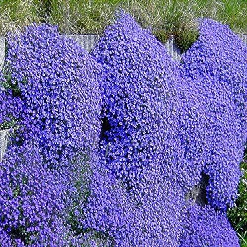 Shopvise Kletterblume Aubrieta Seeds 30 Stück Lila Blumen Mehrjährige Bodendecker Blühende DIY Samen Für Hausgarten Decoratio: Orange