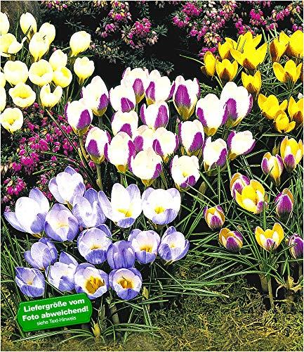 BALDUR Garten Wildkrokusse, Botanische Krokusse Kollektion, 100 Zwiebeln, Crocus chrysanthus Mix