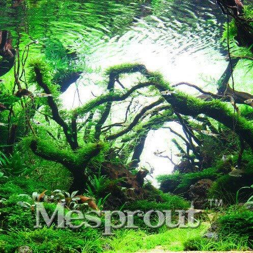 Neuankömmling!Gartenpflanze 200 Stücke Ein Beutel Limnophila Sessiliflora Moos Wasserpflanze Samen, Aquarium Grassamen Bonsai,