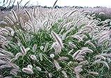 50Pennisetum Graines, Kikuyu Graines de gazon F014