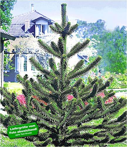 BALDUR Garten Affenschwanz-Baum, 1 Pflanze Araucaria, Chilenische Schmucktanne, Affenbaum, Affenschaukel, Andentanne