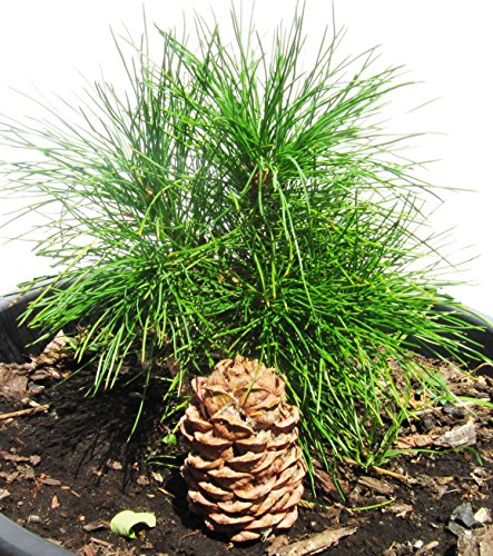SIBERIAN CEDAR CONE – PINUS SIBIRICA (lat.) – Plant and Grow Your Own RINGING CEDARS! Perfect for Planting Purposes. Wild Harvested in Siberia, Russia. Great Gift! Cedar Pendants. Cedar Nut Oil.