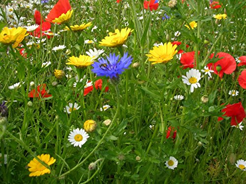 Pure Cornfield Annual Standard Native UK Wildflower Pretty Wild Seeds Seed Mix 100 Grams Mix 201 NO Grass