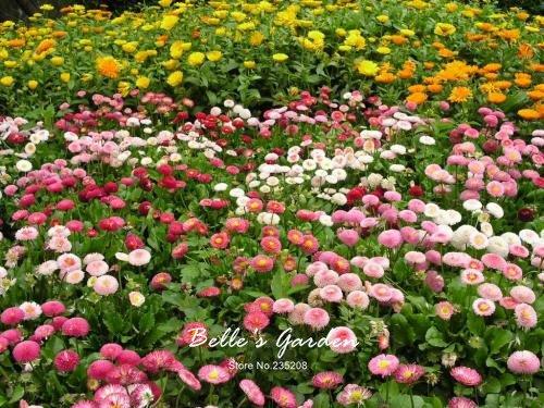 100 pcs/sac variétés de graines de marguerite, belle plante de fleurs Accueil Jardin Fleurs en pot semences intérieur Graines Bonsai 5