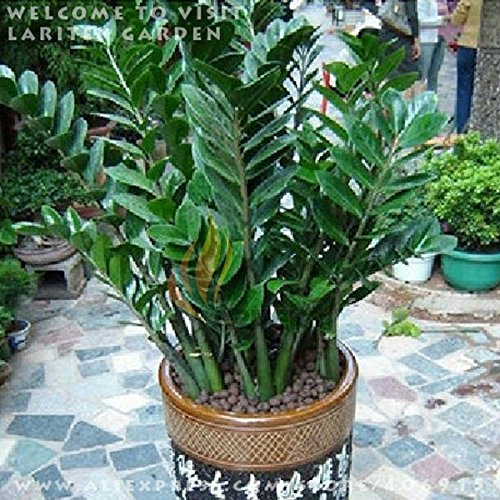 1 PACK HERMETIQUES 50 GRAINES Zamioculcas zamiifolia MONEY TREE * LES GRAINES COMME MONNAIE COIN PLUS CADEAU MYSTÉRIEUX