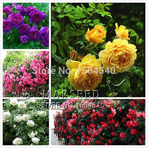 5 sortes Élevage Rose Seeds Belle Belle Couleur magnifique jaune blanc violet rouge rose