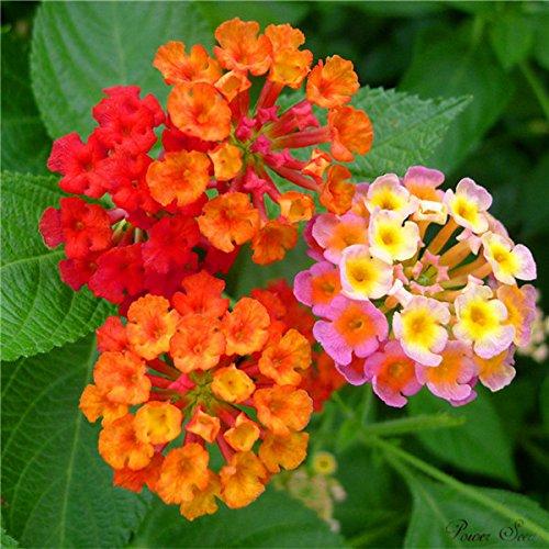 100 pcs / sac, graines Lantana, graines en pot, graines de fleurs, variété complète, le taux de 95% en herbe, (couleurs mélangées)