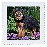 3dRose QS 93013_ 3EIN Airedale Puppy Hund auf einem