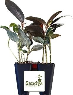 Sandys Nursery Online Ficus Elastica, Burgundy Rubber Plant, Lot of 2 Starter Plants