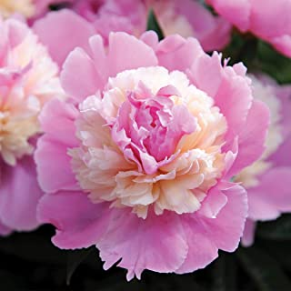 Burpee Perennial Peony `Sorbet` Pink - 1 Bare Root 3-5 Eye Plant
